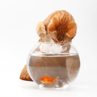 Nette rote katze spielt mit einem golddekorativen fisch in einem runden aquarium.