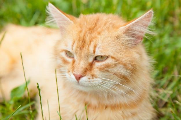 Nette rote orange flaumige katze sitzt draußen im sommergarten im grünen gras