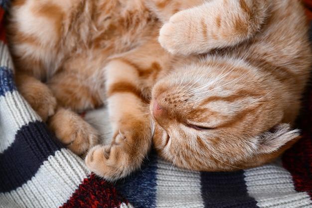 Nette schottische falzkatze, die auf plaid schläft