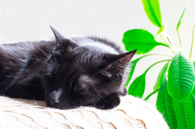 Nette schwarze katze, die nahe grüner topfpflanze schläft. gemütlichkeit und ruhiges konzept. hygge-stil komposition