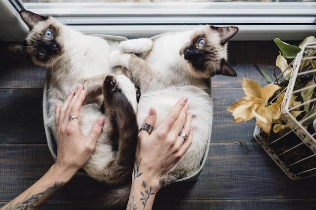 Nette siamesische katzen, die in kisten nahe dem fenster liegen