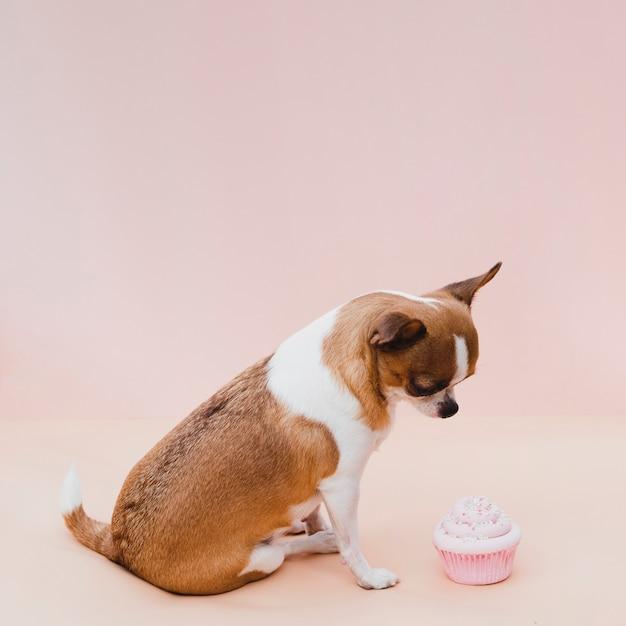 Nette sitzende chihuahua mit rosa kleinem kuchen