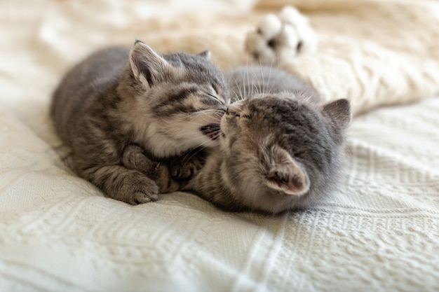 Nette tabbykätzchen küssen sich auf dem bett auf weißem plaid liegend. verliebte katzenbabys zum valentinstag. kindertier und gemütliches wohnkonzept.