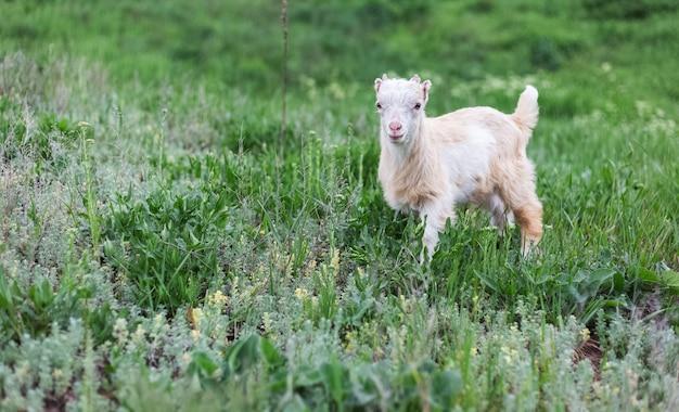 Nette weiße babyziege im grünen gras der wiese.