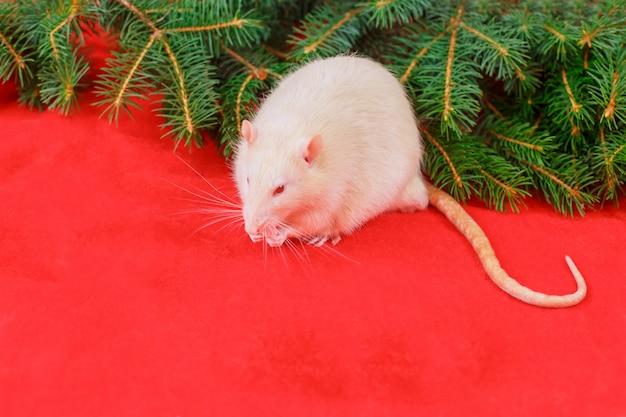 Nette weiße ratte auf weihnachtsrot