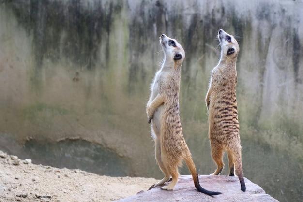Nette zwei braune meerkats, die auf dem felsen stehen und herum schauen.