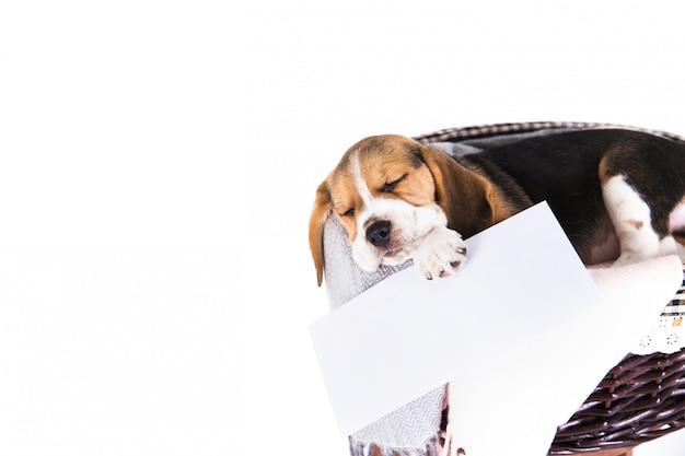 Netter beagle-hund im weidenkorb