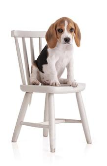 Netter beagle-welpe, der auf einem weißen stuhl auf einem weißen lokalisierten sitzt