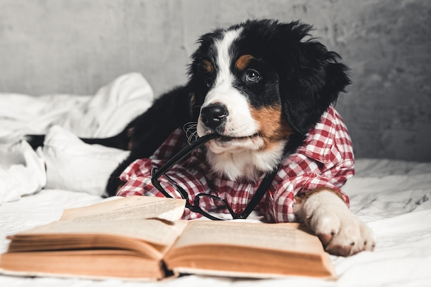 Netter berner sennenhund mit rotem hemd auf decke mit einem buch und einer brille.