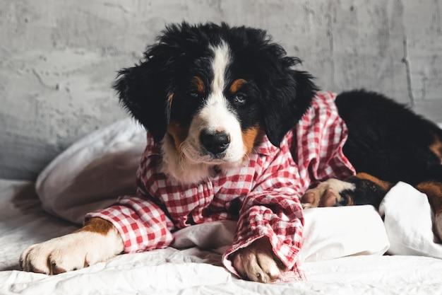 Netter berner sennenhund mit rotem hemd auf decke