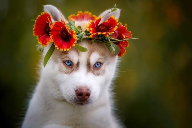Netter blauäugiger sibirischer husky in einem kranz von blumen.