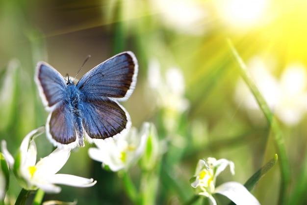 Netter blauer schmetterling, der auf weißen blumen, natürlicher hintergrund, insekt in der natur, mit einem sonnigen weichen glühen sitzt