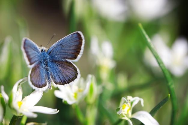 Netter blauer schmetterling, der auf weißen blumen, natürlicher hintergrund, insekt in der natur sitzt