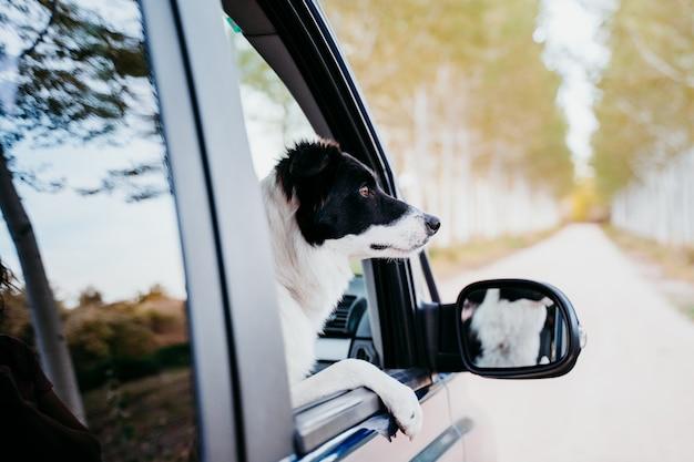 Netter border-collie-hund, der durch das fenster einen van sucht. reisekonzept