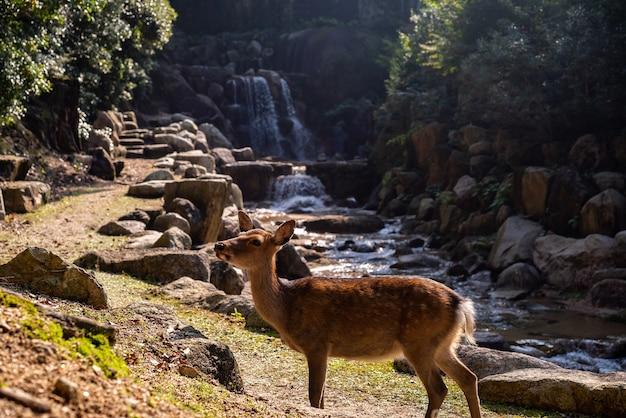 Netter brauner hirsch vor wasserfall auf der insel miyajima, japan