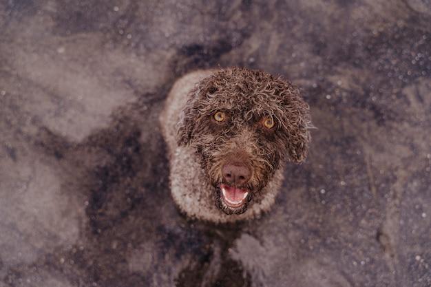 Netter brauner spanischer wasserhund am strand, der die kamera betrachtet. brown sand hintergrund.