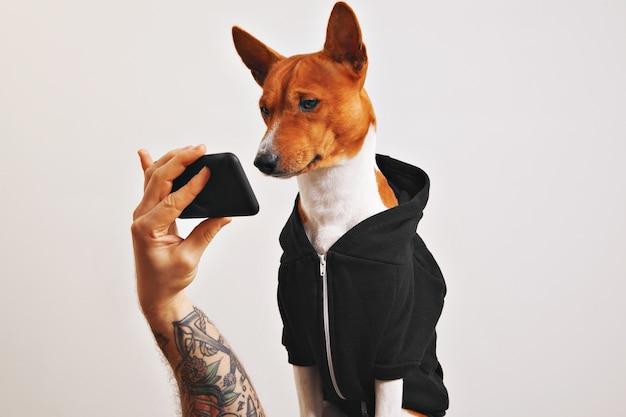 Netter brauner und weißer basenji hund im schwarzen kapuzenpulli schaut genau auf den bildschirm des smartphones, der von der hand eines tätowierten mannes gehalten wird, der auf weiß isoliert wird.