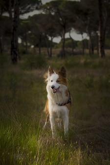 Netter brauner und weißer walisischer schäferhund in einem wald