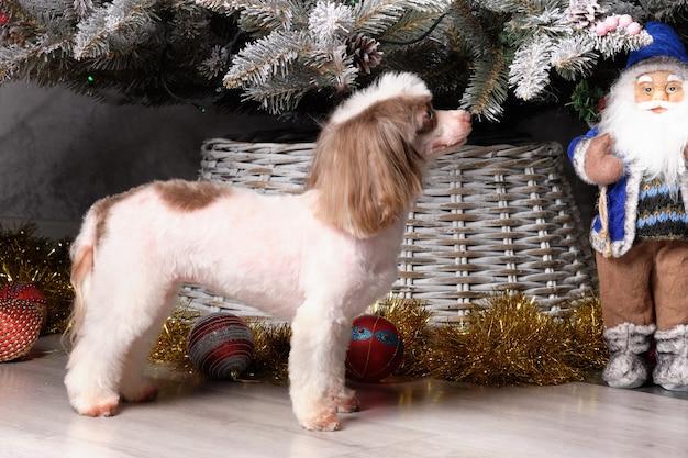 Netter chinesischer schopfhund steht auf dem hintergrund des weihnachtsbaums