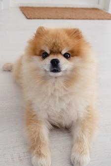 Netter flauschiger pommerscher spitzhund, der auf dem boden liegt und direkt in die kamera schaut