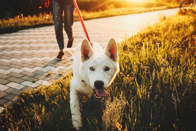 Netter glücklicher weißer hund an der leine, der mit erntefrau in der freizeitkleidung auf gras bei sonnenuntergang geht und kamera mit offenen kiefern betrachtet