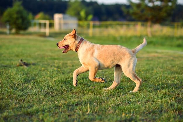 Netter glücklicher welpe labrador retriever, der auf dem rasen bei sonnenuntergang oder sonnenaufgang läuft