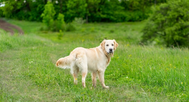 Netter golden retriever hund, der auf grünem gras geht