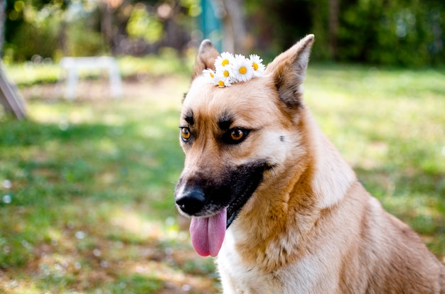 Netter goldener malinoix-hund mit gänseblümchenblumen auf kopf, der in der frühlingsgrünwiese sitzt