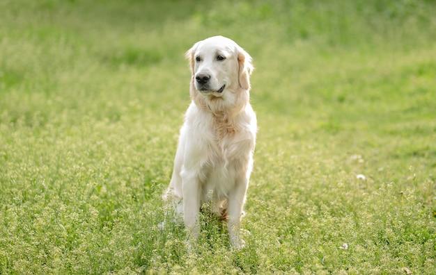 Netter goldener retrieverhund, der auf blühendem feld sitzt