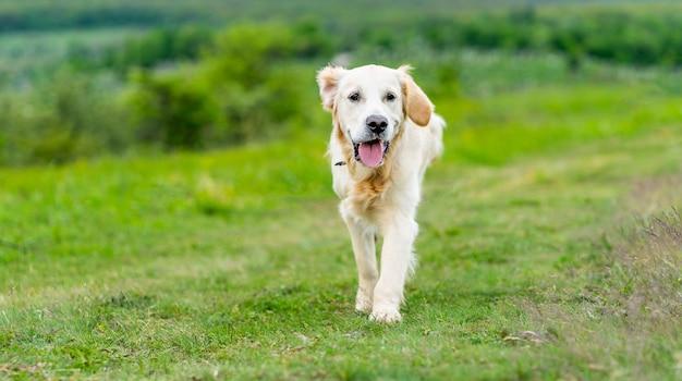 Netter goldener retrieverhund, der mit reisendem auto auf grünem gras geht