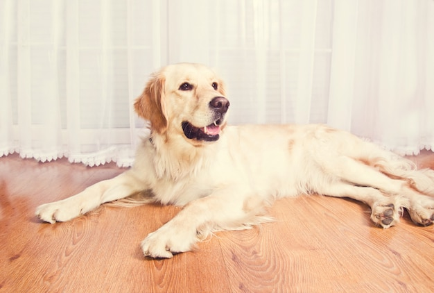 Netter goldener retrieverhund.