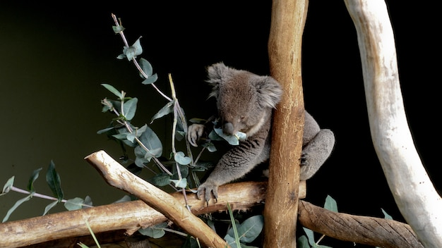 Netter grauer australischer koala