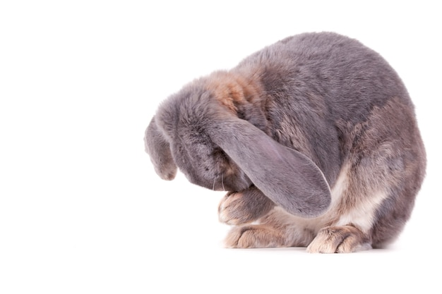 Netter grauer und weißer hase, der auf einer weißen oberfläche sitzt und seine nase in den händen hält