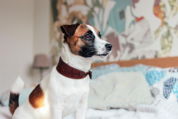 Netter hündchen jack russell-terrier, der kamera im schlafzimmer betrachtet