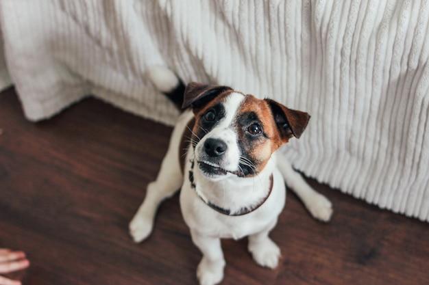 Netter hündchen jack russell-terrier, der kamera mit der kleinen hand im schlafzimmer betrachtet