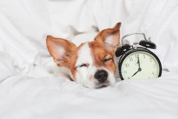 Netter hund auf bett zu hause mit wecker