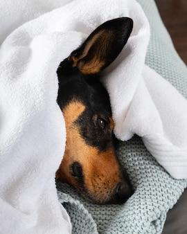 Netter hund bedeckt mit decke