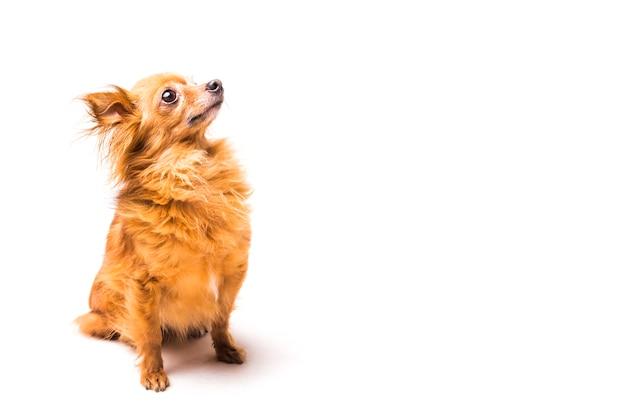 Netter hund browns, der über weißem hintergrund sitzt