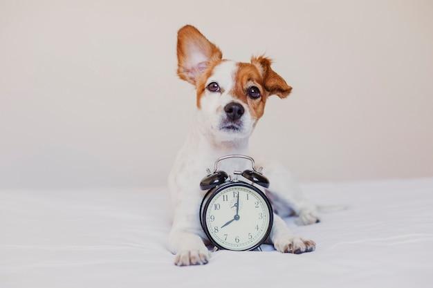 Netter hund, der auf bett mit einem wecker eingestellt auf 8 uhr morgens liegt. morgen und wachen konzept zu hause auf.