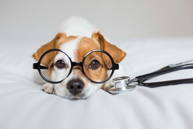 Netter hund, der auf bett sitzt. stethoskop und brille tragen. arzt oder ein tierarzt-konzept