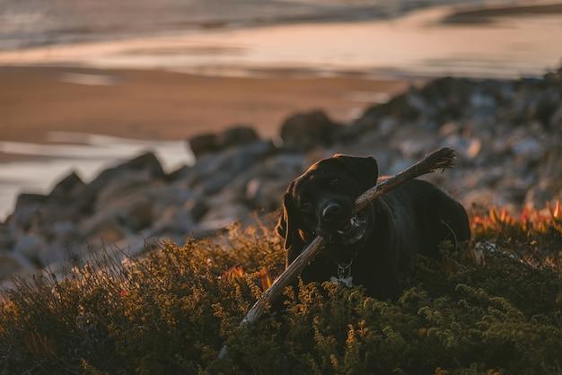 Netter hund, der auf dem boden liegt, während er auf seinem stock kaut