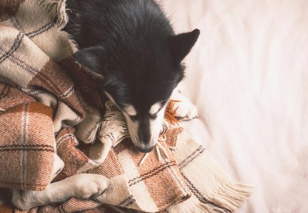 Netter hund, der auf einem bett unter einem plaid schläft