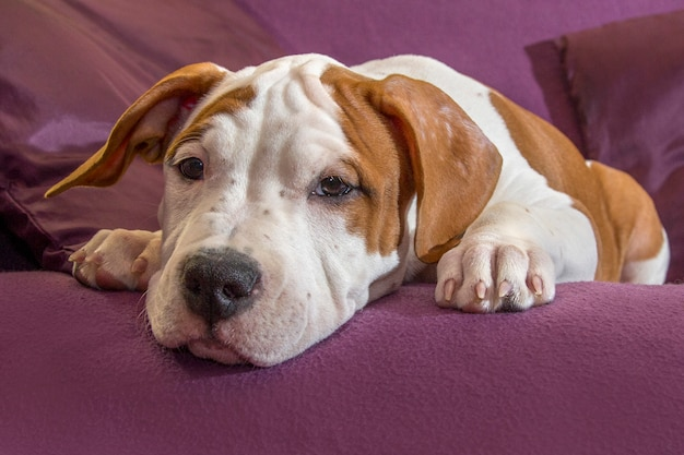 Netter hund, der kamera-wartemeister loyal betrachtend legt
