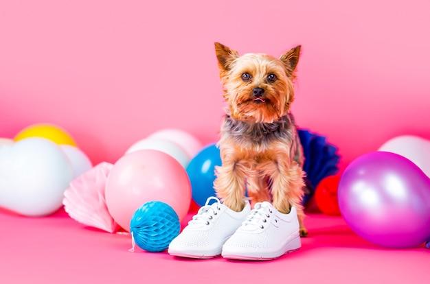 Netter hund, der kleidung und schuhe trägt. hundeschuhe. yorkshire terrier im schuh.