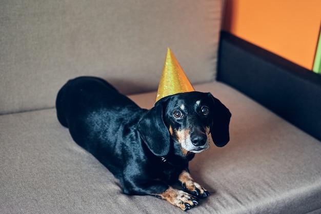 Netter hund im partyhut. alles gute zum geburtstag. schwarzbraunes dackelporträt, das ein neues jahr feiert.