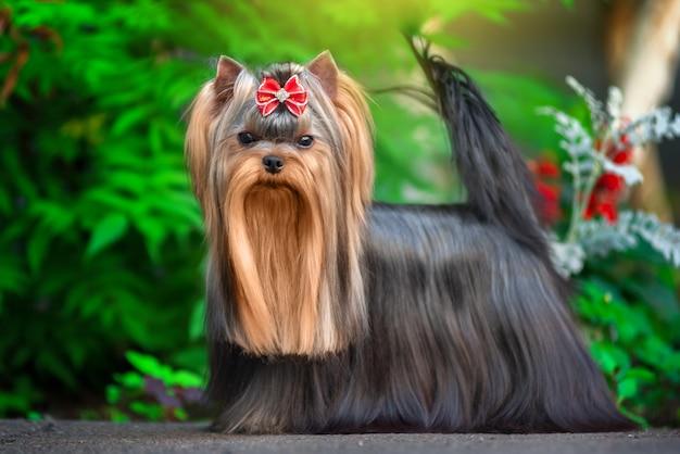 Netter hund yorkshires terrier, der im yard spielt