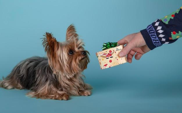 Netter hund yorkshires terrier (yorkie), der ein kleines weihnachtsgeschenk von seinem inhaber empfängt