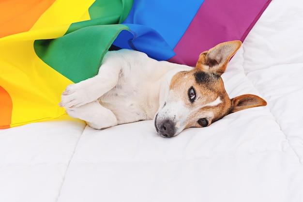 Netter hundesteckfassung russell eingewickelt in der regenbogen lgbt-flagge, die auf weißem bett liegt