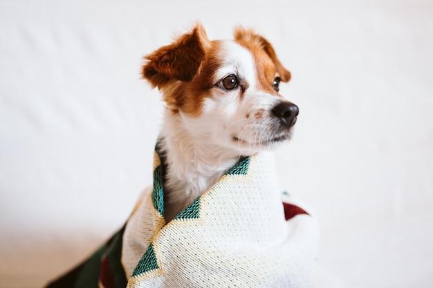 Netter jack russell hund bedeckt mit ethnischer decke, die auf der couch zu hause sitzt. lebensstil drinnen