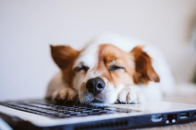 Netter jack russell hund, der am laptop zu hause arbeitet und sich müde oder schläfrig fühlt. zu hause bleiben. technologie- und innenkonzept